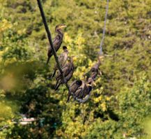Cormorants On A Wire by lenslady