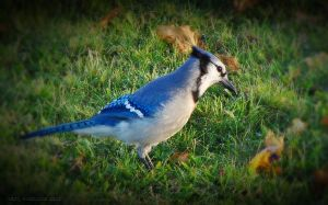 Blue Jay by CanonSX20