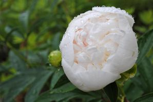 Peony 2 by LucieG-Stock