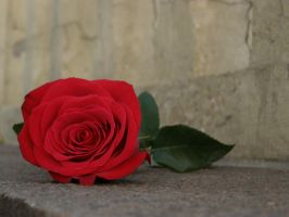 The rose... by Glucksistemi