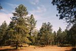 Pine Trees at Pine Flat by Texas1964