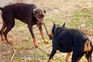 Monster Onyx Tug of War by KateIndeed