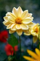 Dwarf Dahlia by George---Kirk