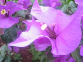 Nicaraguan Flower 3 by Vectriss