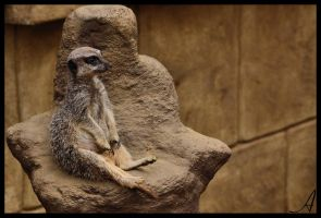 Meerkat by Alannah-Hawker