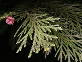 Ring-Flash test Conifer 4 by TERABBS