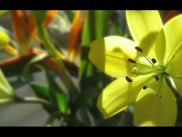 Asiatic Lilies by jpopqueen26