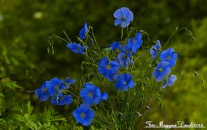 The Blue Flowers.(soft) by magyarilaszlo