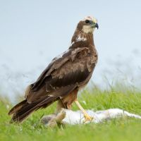 Elegance - Marsh Harrier - female by Jamie-MacArthur