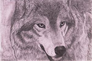 Wolf Pencil Sketch by SoulCanvas