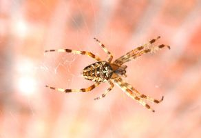 Spider by Skifbladmir
