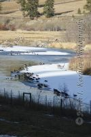 Geese and Ducks on the Nicola by 12monthsOFwinter
