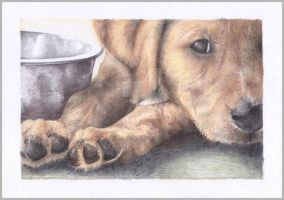 Labrador puppy colour pencil drawing by OrionArtair