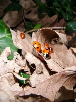 Ladybirds by Hendo1991
