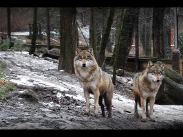Gray wolves I. by Pawkeye