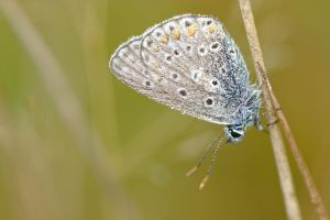 common blue /5 by andabata