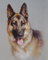 A german shepherd by yunyi2009