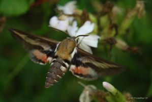 Female Hummingbird Moth by natureguy