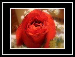 Red Rose by DayDreamsPhotography