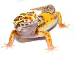 Tango - Bell Leopard Gecko by Toxic-Muffins-Studio