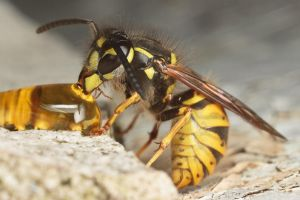 Common Wasp by snomanda
