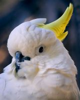 Cockatoo by DeniseSoden