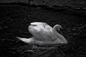 schwan by LeroPhotographie