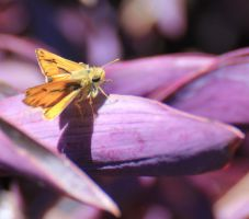 Fiery Skipper on Purple Heart by meeks105