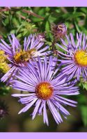 Bee and Purple by picworth1000wrds