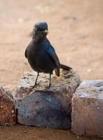 Little Drongo by CarissaGagashi