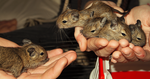 2 weeks old degus by janciss