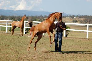 GE Arab chestnut young rear/leap by Chunga-Stock