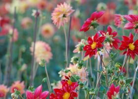 DAHLIAS by smfoley