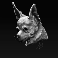 Chihuahua value study by mefesto78