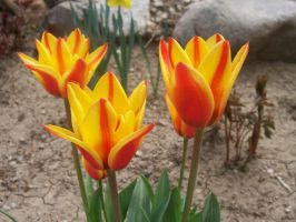 Close up of Tulips by Feantalia