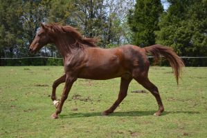 Meet Desperado - Real Horse by StarFyreStables