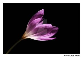 Colchicum by Tazzy-
