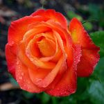Red-Orange Rose by FeralWhippet
