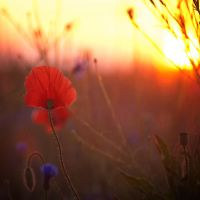 Poppies in the morning light by mannromann