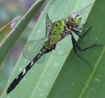 Green dragonfly 1 by Mird-the-Clever