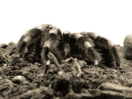 tarantula by shochinbugstock