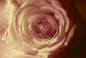 rose by Petko