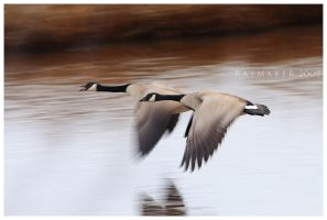 Cruising Geese by Raymaker