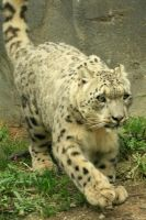 Snow Leopard in Motion by timseydell