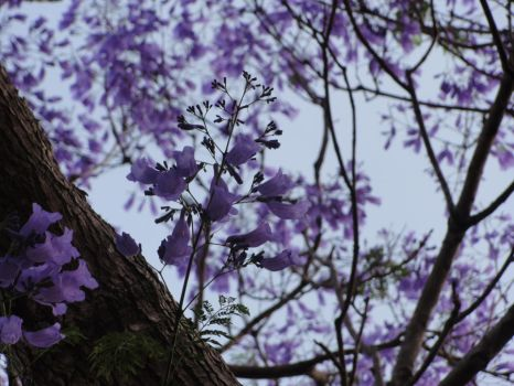 The jacaranda tree by stoneriverfallsnow