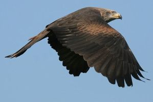 Black Kite by slowriot