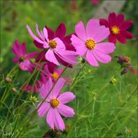 Cosmos by D-Lory