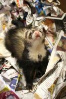 Sable Ferret Box.7 by That1nerdychick
