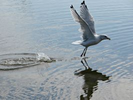 Sea Gull taking off by NathansMommy1787