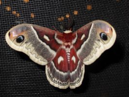 giant moth by Quentarus